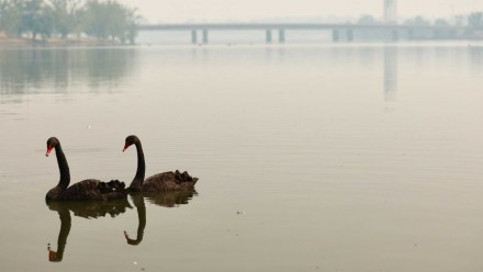 A photograph of two black swans swimming on Lake Burley Griffin in Canberra, Australia, with bushfire smoke shrouding the scene.