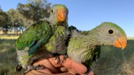 A photograph of two superb parrot chicks perching on a person's hand, looking towards the camera.