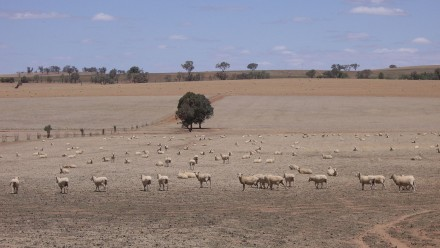 Riverina sheep during drought.