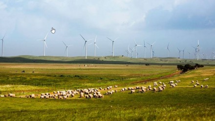 A flock of sheep grazing in a green pasture with over a dozen wind turbines on the horizon in the background