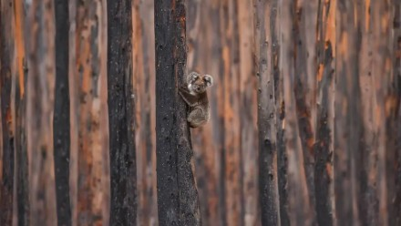 A koala climbs a charred eucalyptus tree Jan. 20 on fire-ravaged Kangaroo Island, South Australia.