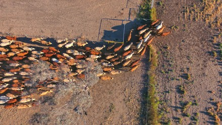 An aerial view of cattle on a farm being moved from a dried-out pasture to a slightly greener one.