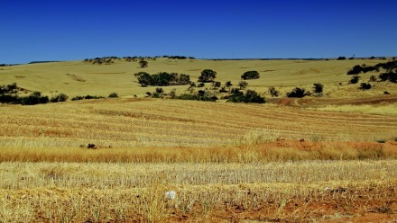 A wheat field in Australia