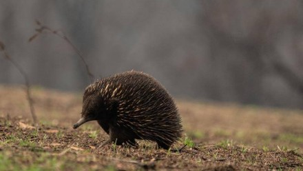 An echidna walking through an area which was previously burnt by bushfires, with grass now beginning to sprout again.