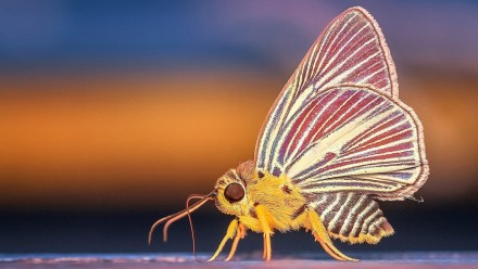 An up-close photograph of a moth, with a yellow body and red and yellow striped wings.