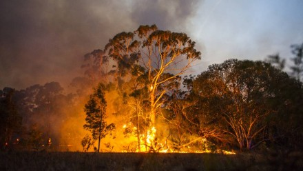 A gum tree goes up in flames during a bushfire.
