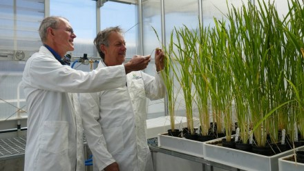 Professors Robert Furbank and John Evans examining some test plants in a greenhouse.