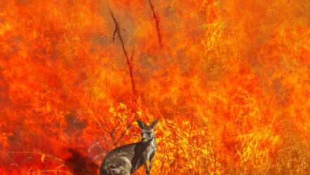 A kangaroo stands in front of a raging bushfire