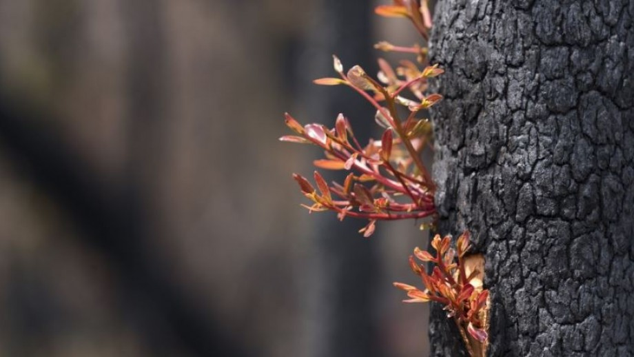 Regrowth in the Currowan forest after 2019-20 bushfires