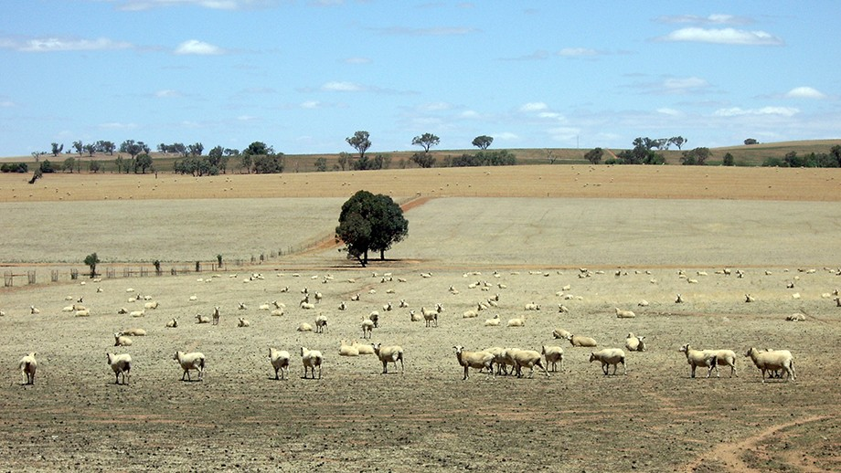 Sheep standing in a drought-stricken paddock in NSW Riverina