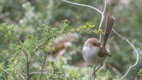 Fairy wren.  Image: Richard Turner, ANU