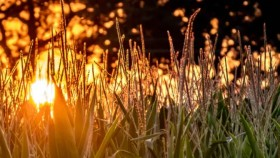 The orange setting sun behind a field of tall grass.
