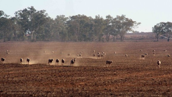 Sheep on a drought-stricken farm