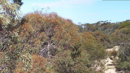 A photograph of the tops of gum trees in Australian bushland.