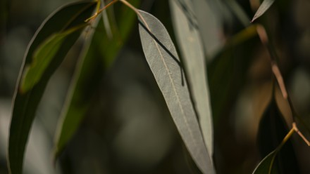 A close-up image of gum leaves, with the sun shining down from above.