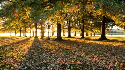 A photograph of several large oak trees, with golden sunlight streaming through from behind them