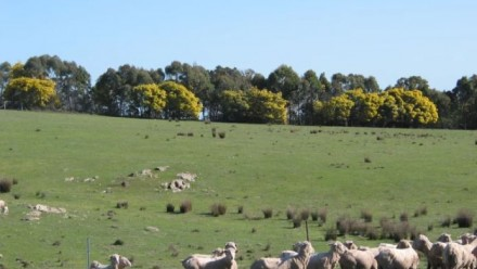 A photograph of a field of green grass, with sheep grazing and a blue sky above.
