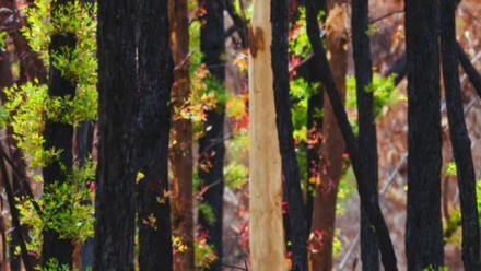 A photograph of trees with blackened trunks from fire damage, with vibrant green new leaves sprouting on them.