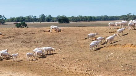 Sheep at a small watering hole in a dried-out pasture