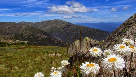A photograph of snow daisies in Kosciuszko National Park, with a view of the mountains behind on a clear, sunny day.