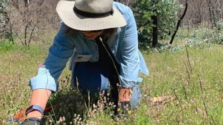 A volunteer dabs herbicide onto weeds in Namadgi National Park.