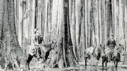 A black-and-white illustration of horseback riders in Victoria's Mt Horsfall forest - which is composed of large trees and grass beneath (as opposed to dense undergrowth).