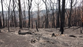 An image of a burnt area of forest, with the trees completely black with charcoal and bare of leaves.