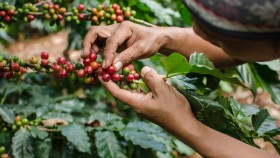 A photograph of an agriculturalist's hands picking coffee beans.